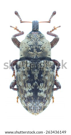 Beetle Cosmobaris discolor on a white background - stock photo