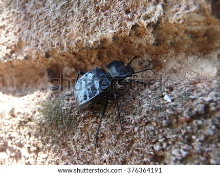 Beetle crawling over stone wall