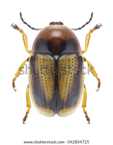 Beetle Cryptocephalus connexus on a white background - stock photo