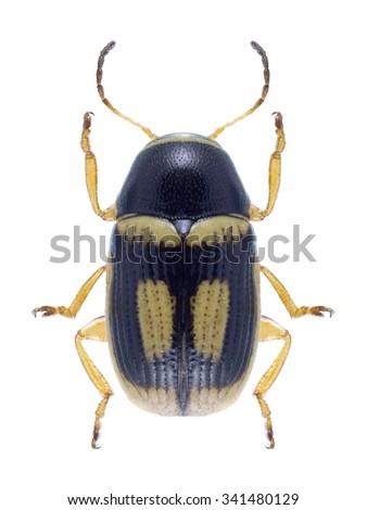 Beetle Cryptocephalus elegantulus on a white background - stock photo