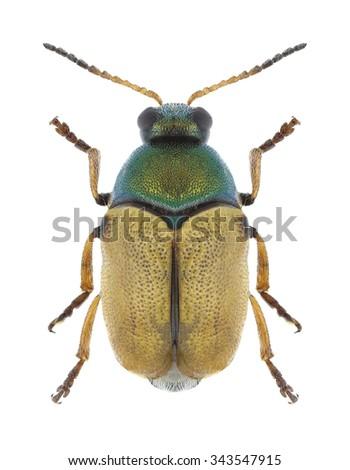 Beetle Cryptocephalus laetus on a white background - stock photo