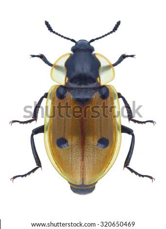 Beetle Dendroxena quadrimaculata on a white background - stock photo