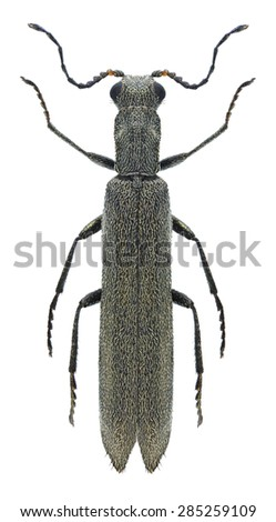 Beetle Dolichosoma lineare on a white background - stock photo