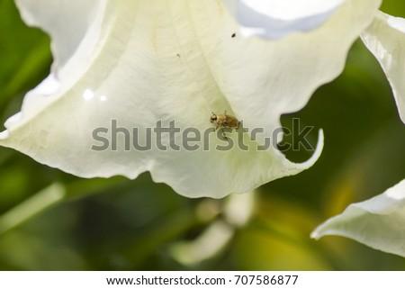 Beetle eating white angel trumpet flower stock photo royalty free beetle eating white angel trumpet flower bloom mightylinksfo