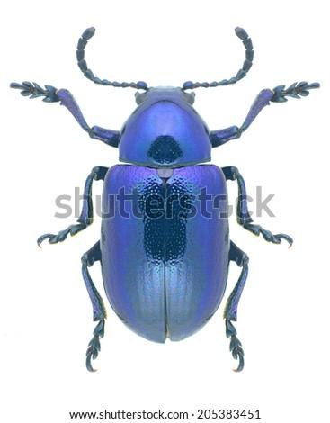 Beetle Eumolpus asclepiadeus on a white background - stock photo
