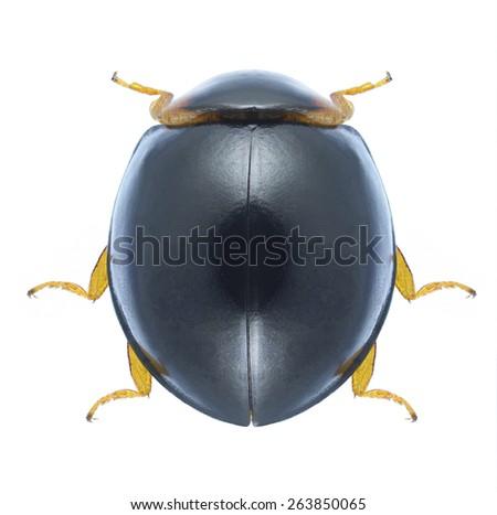 Beetle Exochomus nigromaculatus on a white background - stock photo