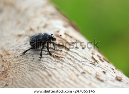 Beetle (Geotrupidae stercorarius) on wood - stock photo