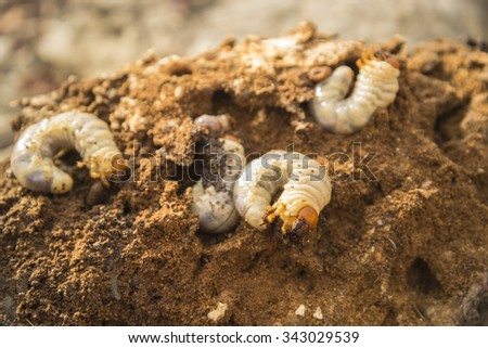 Beetle grub on rotten wood in the forest - stock photo