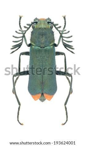 Beetle Haplomalachius flabellatus (male) on a white background - stock photo