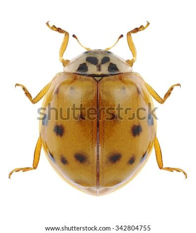 Beetle Harmonia axyridis on a white background - stock photo