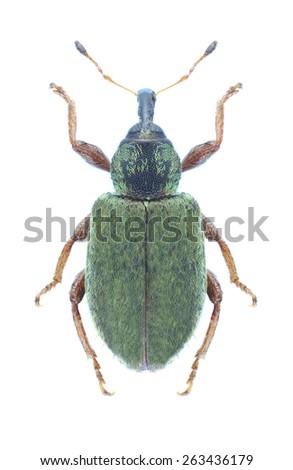 Beetle Hypera nigrirostris on a white background - stock photo