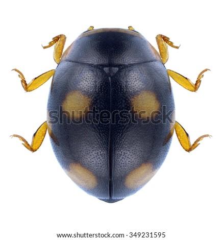 Beetle Hyperaspis erytrocephala on a white background - stock photo
