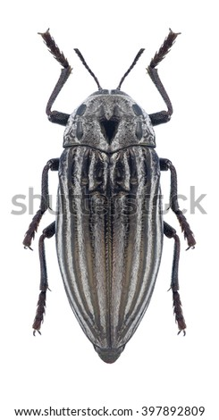 Beetle Julodis punctatocostata punctatocostata on a white background - stock photo
