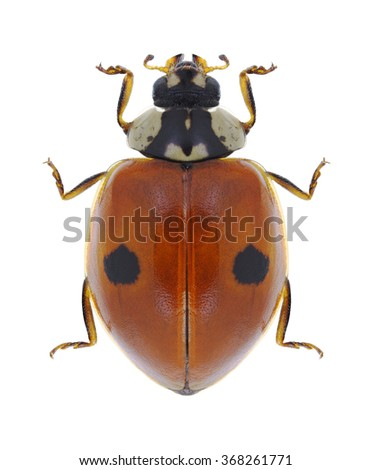 Beetle Ladybird Adalia bipunctata on a white background  - stock photo
