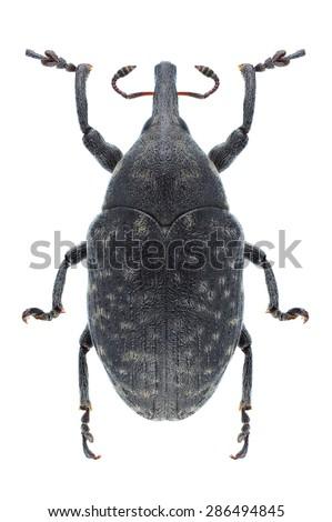 Beetle Larinus turbinatus on a white background - stock photo
