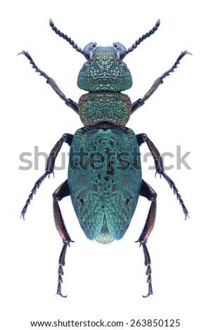 Beetle Meloe cavensis on a white background - stock photo
