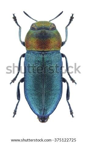 Beetle metallic wood borer Anthaxia hypomelaena on a white background - stock photo
