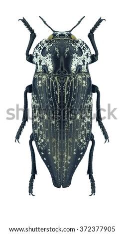 Beetle metallic wood borer Capnodis parumstriata on a white background - stock photo