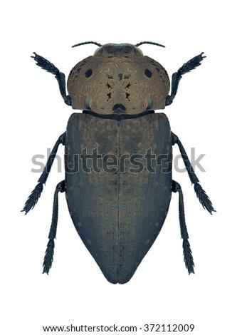 Beetle metallic wood borer Capnodis tenebricosa on a white background - stock photo