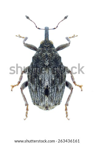 Beetle Microplontus rugulosus on a white background - stock photo