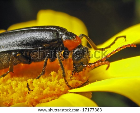 Beetle on the flower