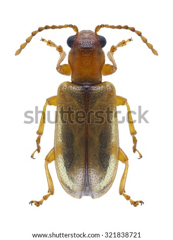 Beetle Orsodacne cerasi on a white background - stock photo