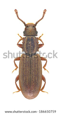 Beetle Oryzaephilus surinamensis on a white background - stock photo