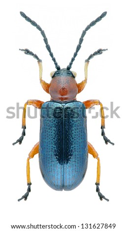 Beetle Oulema melanopus on a white background - stock photo