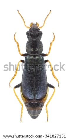 Beetle Paratinus femoralis on a white background - stock photo