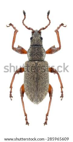 Beetle Phyllobius contemptus on a white background - stock photo