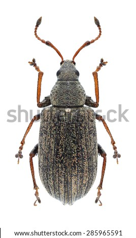 Beetle Phyllobius pyri on a white background - stock photo