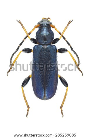 Beetle Phymatodes rufipes on a white background - stock photo