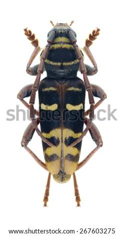 Beetle Plagionotus detritus on a white background - stock photo