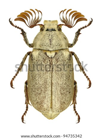 Beetle Polyphylla alba on a white background - stock photo