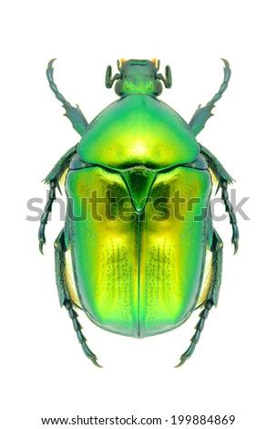 Beetle Protaetia affinis on a white background - stock photo