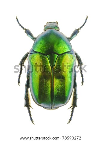 Beetle Protaetia affinis on a white background - stock photo