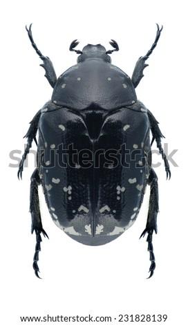 Beetle Protaetia funebris on a white background - stock photo