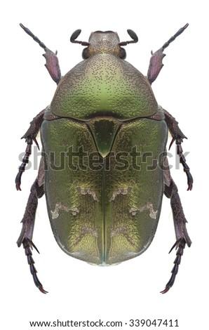 Beetle Protaetia metallica on a white background - stock photo