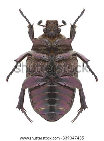 Beetle Protaetia metallica (underside) on a white background - stock photo