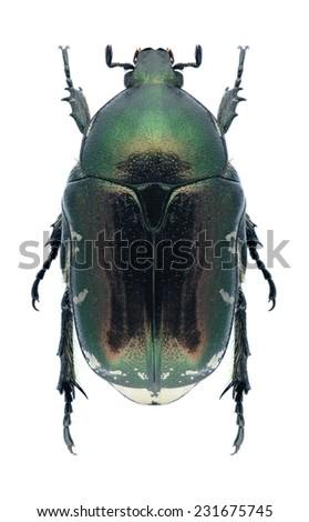 Beetle Protaetia trojana godeti on a white background - stock photo