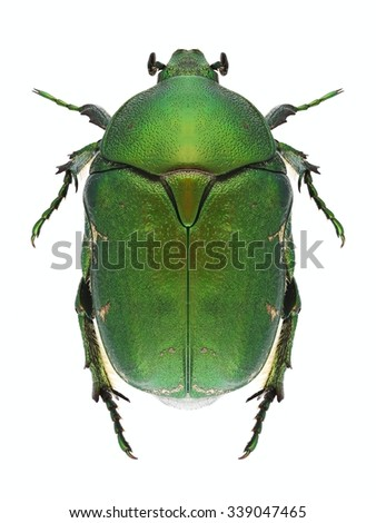 Beetle Protaetia ungarica on a white background - stock photo