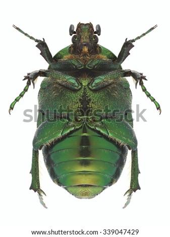 Beetle Protaetia ungarica (underside) on a white background - stock photo