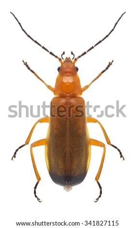 Beetle Rhagonycha fulva on a white background - stock photo
