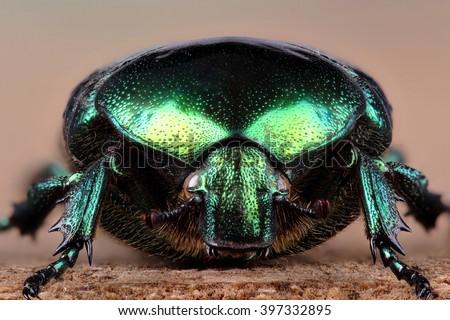 Beetle - rose chafer (Cetonia aurata). Extreme macro - stock photo