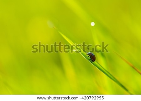Beetle sitting on plant in morning light. Beetle macro.