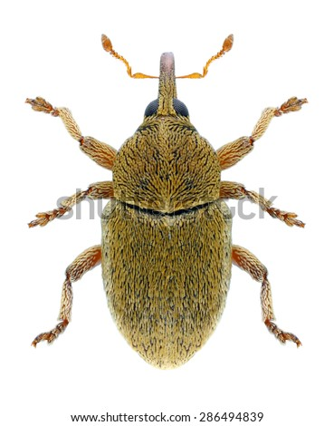 Beetle Tychius medicaginis on a white background - stock photo