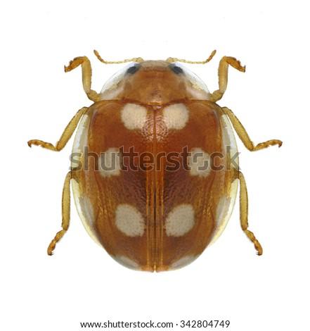 Beetle Vibidia duodecimguttata on a white background - stock photo