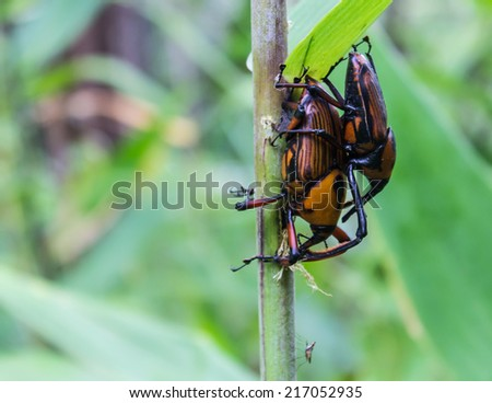 beetle with colored armor close up, Dynastes hercules - stock photo