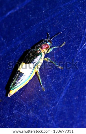 beetle with colored armor isolated on blue - stock photo