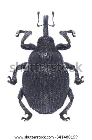 Beetle Zacladus geranii on a white background - stock photo